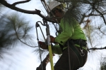 ventura-county-tree-service-tree-trimming-service-18