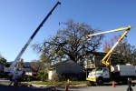 ventura-county-tree-service-tree-trimming-service-26