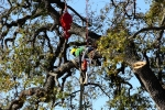 ventura-county-tree-service-tree-trimming-service-27