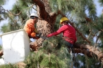 ventura-county-tree-service-tree-trimming-service-33