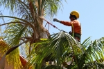 ventura-county-tree-service-tree-trimming-service-36