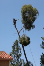 Tree Removals ~ Eucalyptus Shallow Root Danger