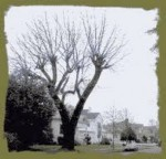 Why Topping Trees Destroys the Aesthetics and Structure of Trees