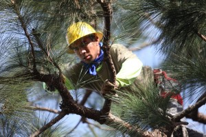 Ventura County Tree Service - Tree Trimming Service (15)