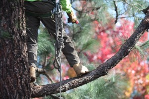 Ventura County Tree Service - Tree Trimming Service (20)