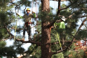 Fine pruning a pine tree.
