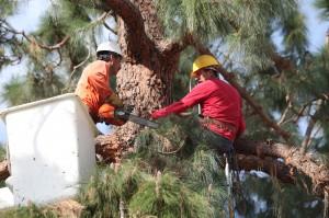 Greene Tree Care Pine Tree trimming
