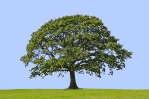 bigstock_Oak_Tree_Symbol_Of_Strength_1281701